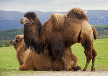 Pair Of Bactrian Camels, One L...