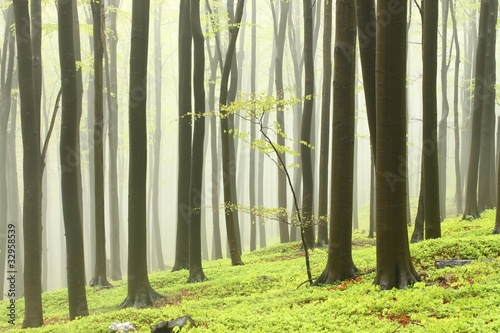Papiers peints Foret brouillard Spring beech forest in the fog