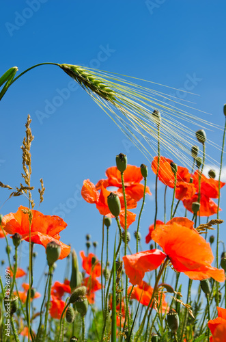 Canvas Prints Poppy red poppy and green barley