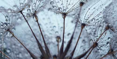 Poster Dandelions and water Dandelion seed with drops