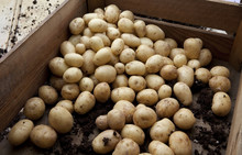 New Potatoes Loose In A Vegetable Crate