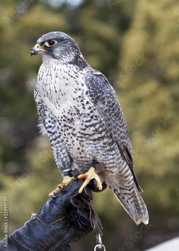 Photo  falcon