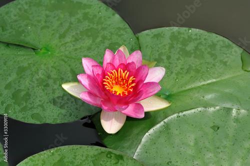 Fotografie, Obraz  Ninfea - Nymphaeaceae