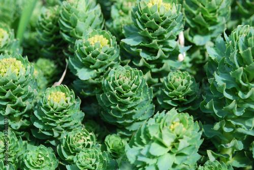 Photo  Rhodiola rosea, medicinal pant