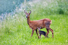 Doe With Very Young Fawn, Capr...