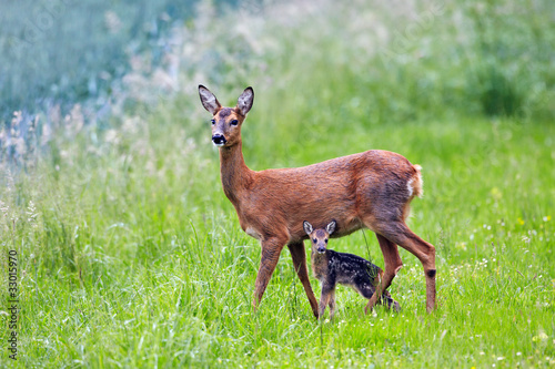 In de dag Ree doe with very young fawn, Capreolus capreolus