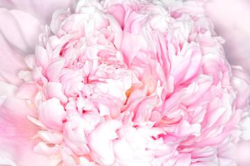 Panel Szklany Podświetlane Do pokoju Peony blossom.
