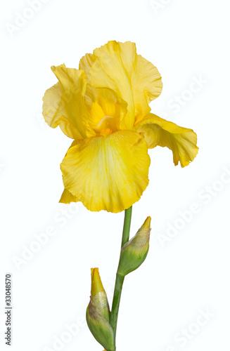 Garden Poster Narcissus Yellow iris