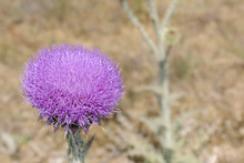 Welted Thistle Carduus Acantho...