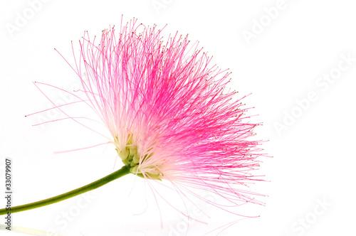 Cadres-photo bureau Fleuriste Fleur de l'Albizia julibrissin sur fond blanc