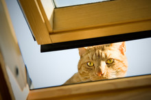 Ginger Tom Cat Peeping Though An Open Window