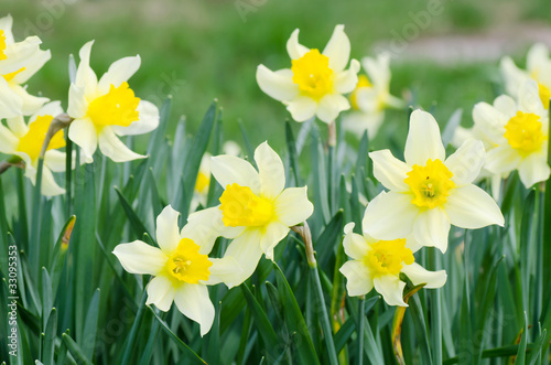 Cadres-photo bureau Narcisse Beautiful spring flowers
