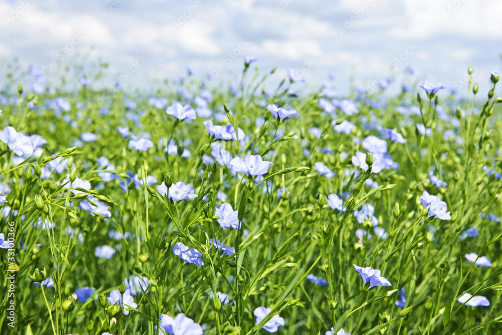 Fototapety, obrazy: Blooming flax field