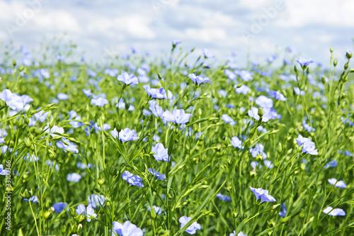 Obraz Blooming flax field - fototapety do salonu