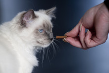 Ragdoll Cat Gets Candy From Hi...