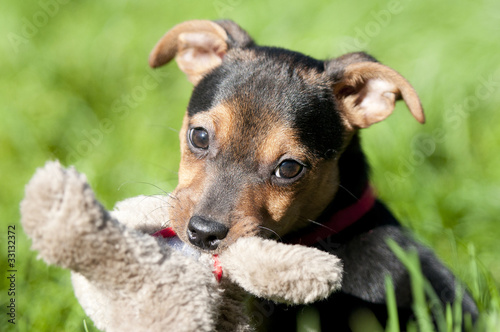 Poster Dog Little brown with black Jack russel sitting in the grass