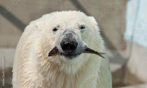 In de dag Ijsbeer white bear