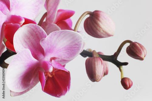 beautiful pink orchids on white background - 33160404