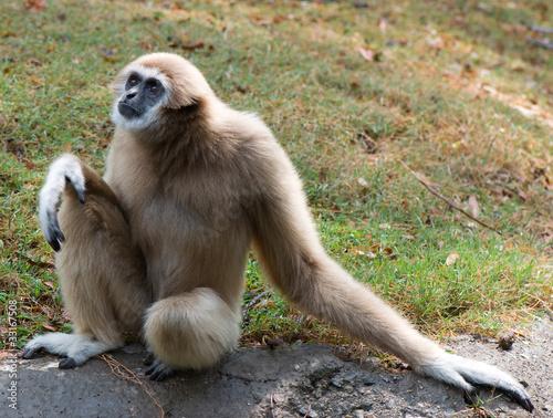 Canvas-taulu lar gibbon