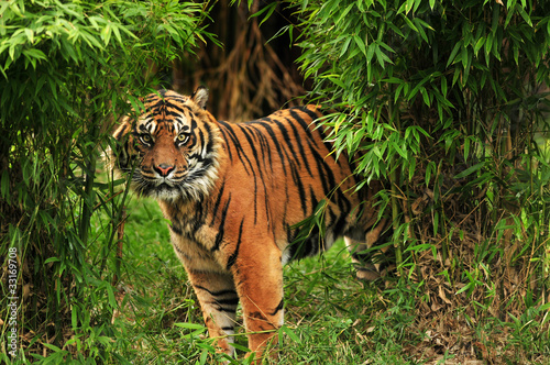 Scary tiger looking from the dark forests Canvas Print
