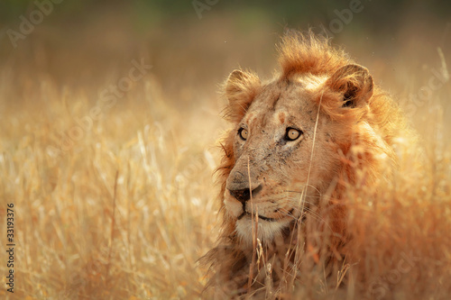 Fotobehang Leeuw Lion in grassland