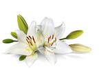 Wielkanocne kwiaty lilii na białym tle