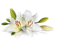 Easter Lily Flowers On White B...