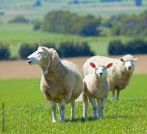 Tuinposter Schapen Sheep on the farm