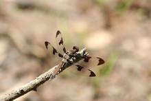 Female Twelve Spot Skimmer Dra...