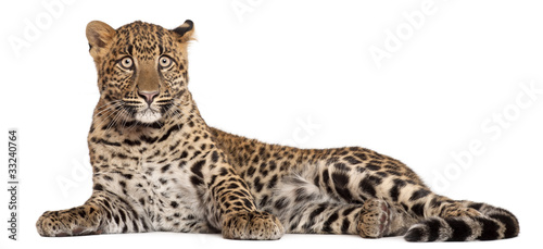 Recess Fitting Leopard Leopard, Panthera pardus, 6 months old,
