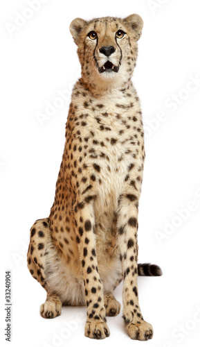 Carta da parati Cheetah, Acinonyx jubatus, 18 months old, sitting