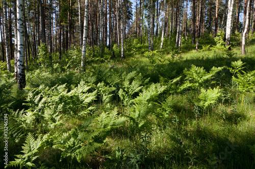 Foto op Aluminium Berkbosje landscape, birchwood