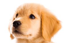 Beautiful Golden Retriever Pup...