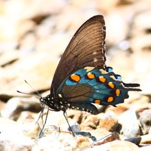 Pipevine Swallowtail (Battus P...