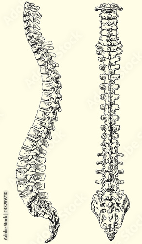 Valokuva  human spine vector illustration black and white