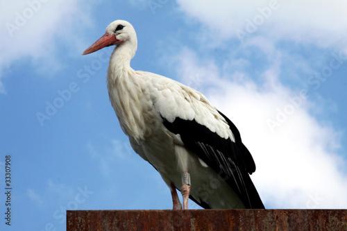 Fotografie, Obraz  cicogna sul tetto di profilo