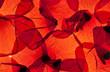 Leinwandbild Motiv Rote Mohnblumenblätter