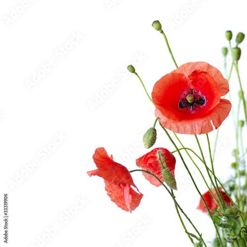 Papiers peints Poppy Red Poppy