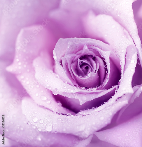 Purple wet rose background - 33326432