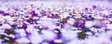 Fototapeta Kwiaty - Daisy field