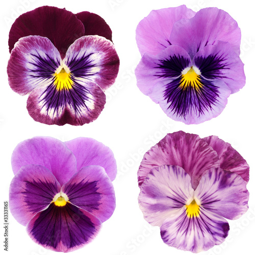 Deurstickers Pansies set of purple pansy on white background