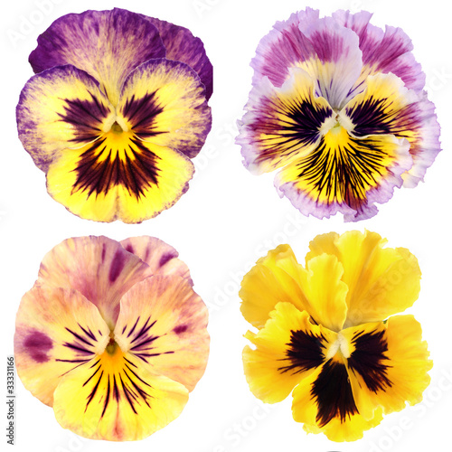 Papiers peints Pansies set of yellow pansy on white background