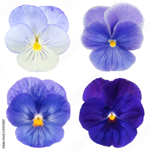 Spoed Foto op Canvas Pansies set of blue pansy on white background