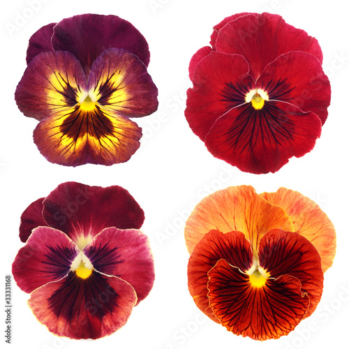 Poster Pansies set of red pansy on white background