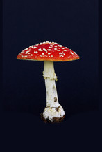 Fly Agaric (Amanita Muscaria) Against Black Background