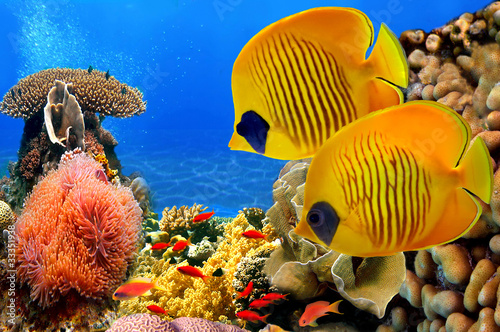 Poster Sous-marin Masked butterfly fish (Chaetodon semilarvatus) and coral reef