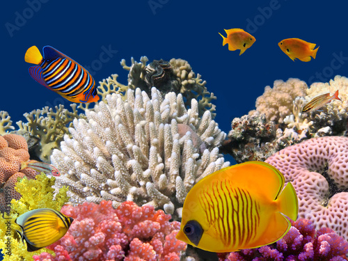 Poster Sous-marin Underwater life of a hard-coral reef, Red Sea, Egypt