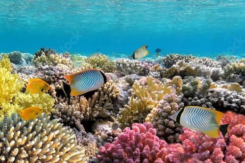 Fototapety, obrazy: Chevron butterflyfish