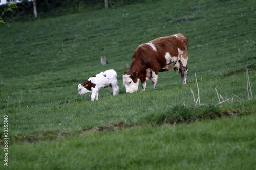 Poster de jardin Vache Glückliche Kühe