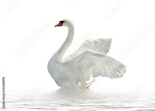 La pose en embrasure Cygne White swan.